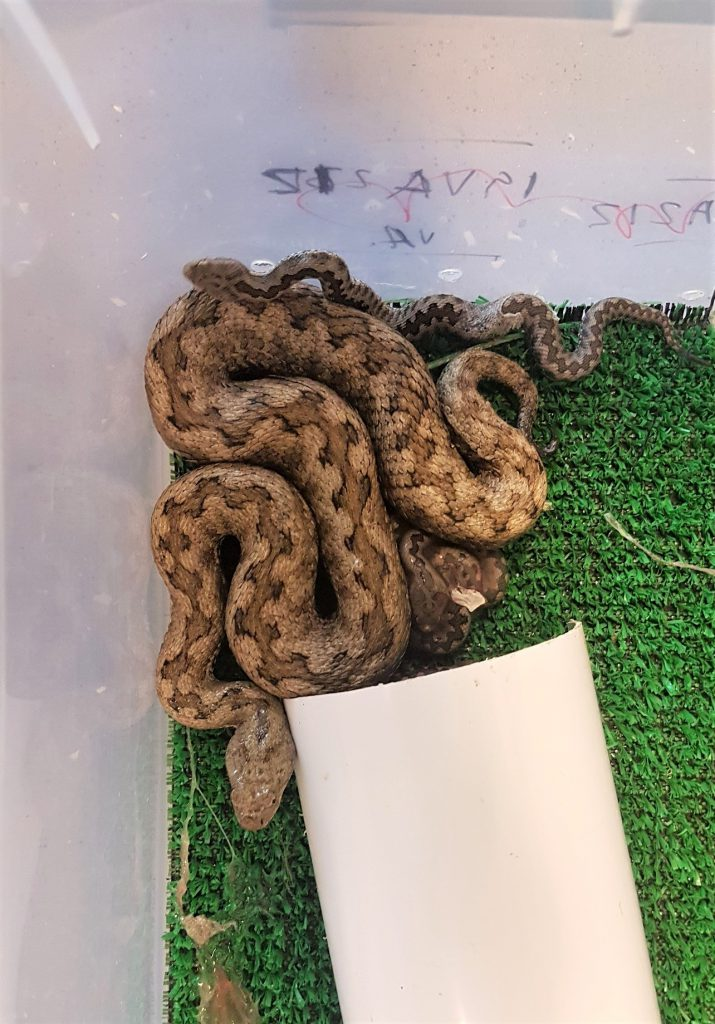 Lataste's viper babies