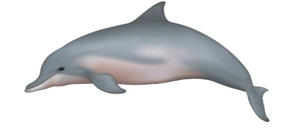 grey river dolphin