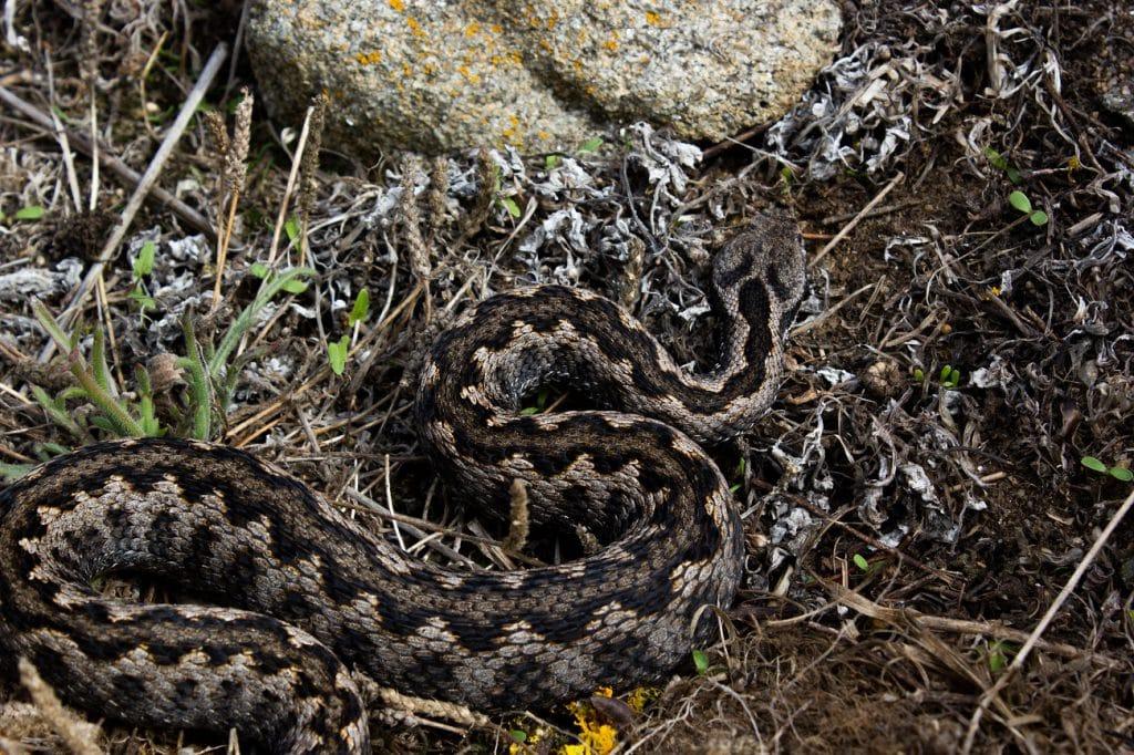 male lataste's viper