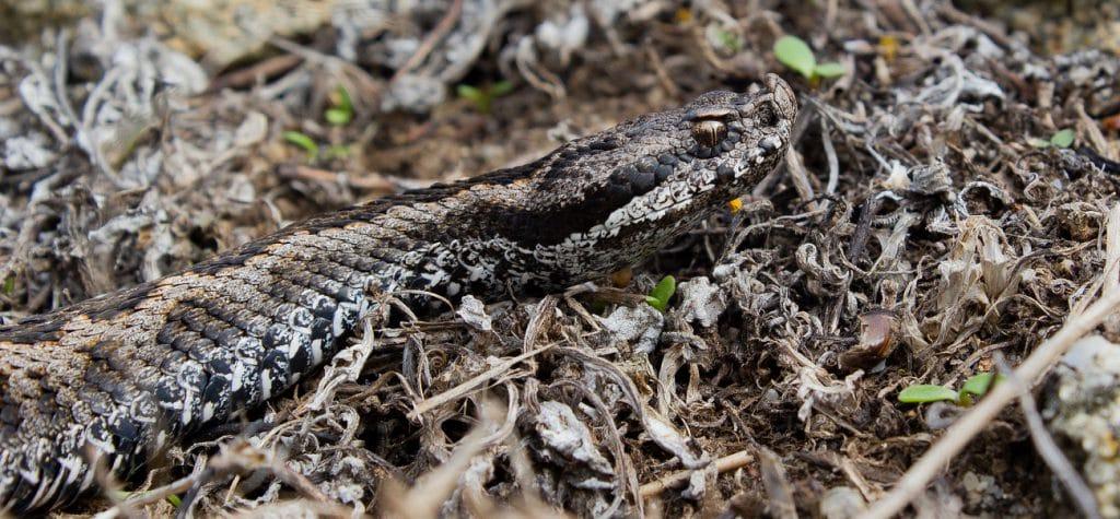 lataste's viper