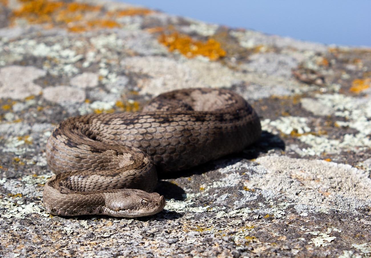 female lataste's viper