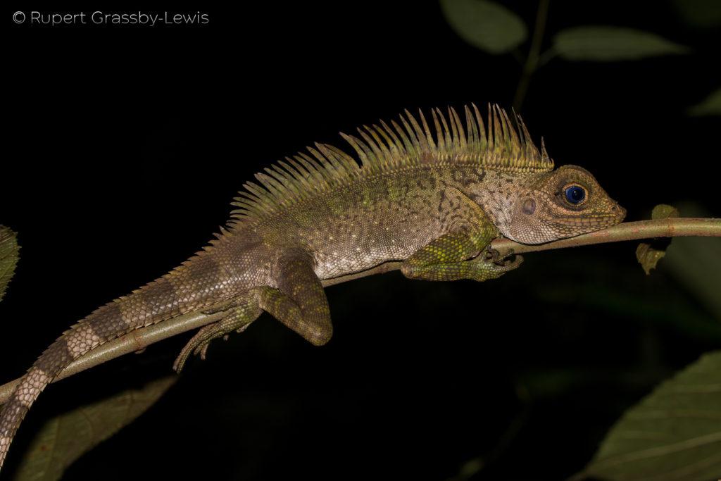 Blue-Eyed Angle-Head Lizard