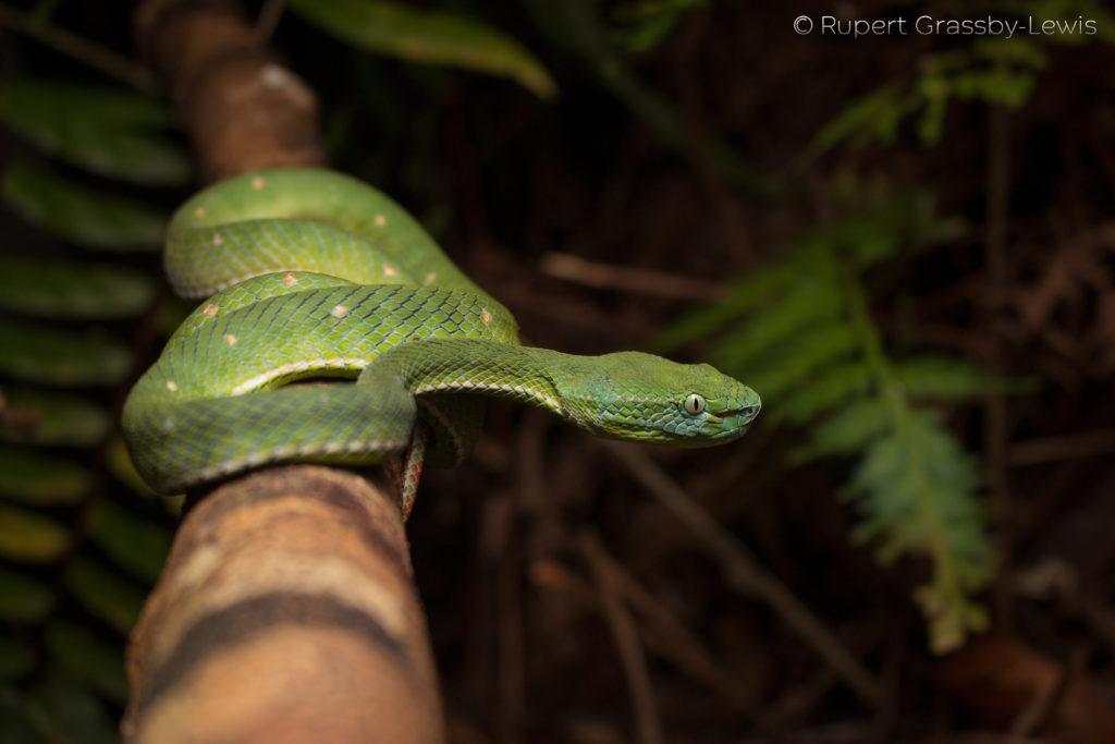 Hagen's pit-viper